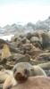 Seelöwen in Sardinenbüchsen