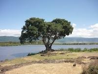 Tansania Baum