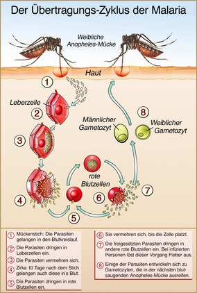 Malaria Übertragungswege