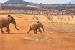 Safaria Kenia Elefanten