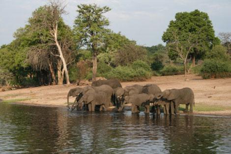 Chobe Riverfront Elefanten