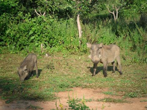 Mole Nationalpark - Warzenschweine