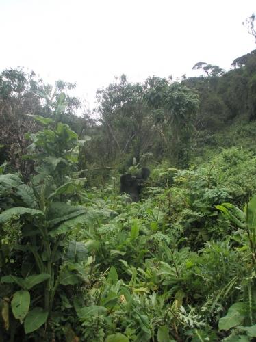 Stehender Gorilla