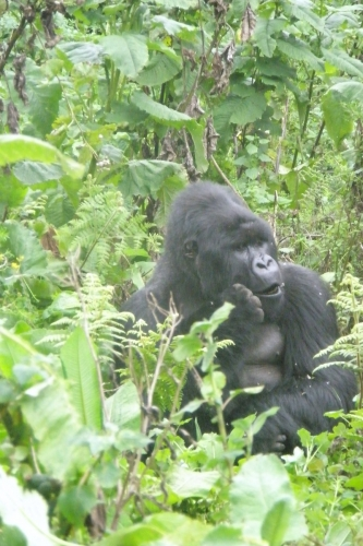 Gorilla ist genervt