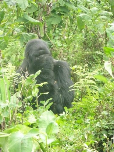 Gorilla hält sich die Augen zu