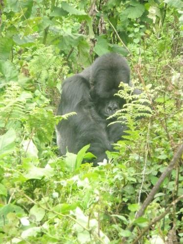 Gorilla schämt sich