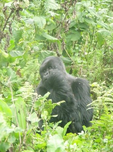 Gorilla blickt zur Seite