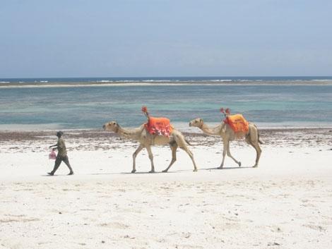 Kamele in Mombasa